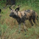 Photo of Painted Dog Conservation