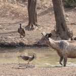 sambhar deer, vulture , peahen and crow trying to quench their thirst