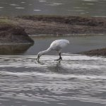 Indian Spoonbill searching for food inside the water