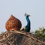 Daily peacock visit
