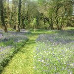 Bluebell walk at Gleann Fia Ctry Hse Killarney, Ireland
