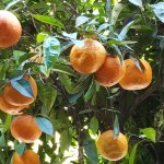 Oranges on the trees in the courtyard
