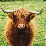 Heather the Highland Hairy Coo