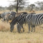 Zebra grazing at our camp grounds.