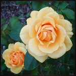 Some of my favorite blooms from the Tyler Rose Garden.
