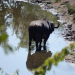 Water buffalo in stream below our rooms