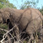 One of the elephants out of the big herd spotted