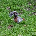 Mexican grey/red-tailed squirrel
