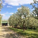 Schäfer Jakobs Apfelland - während der Blüte