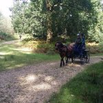 Cute couple driving the pony cart through the New Forest
