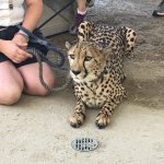 Cheetah Safari Meet and Greet