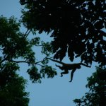 Spider Monkey making the big leap, right next to the Dream Palm House
