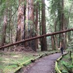Armstrong Redwood State Reserve path