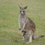 Lovely Kangaroo