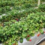 Isoyama Strawberry Farm