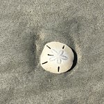 One of the perfect sand dollars I found on Morris Island!