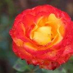 Photo de Parnell Rose Gardens