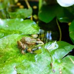 One of the tiny but loud frogs from the many ponds