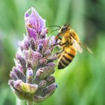 We love taking macro pictures of insects and flowers. It's a bee with a Lavanda.