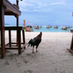 Roosters love beach too