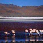 Flamencos en la laguna Colorada