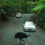 Cassowary on road to visitor centre