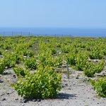 Vineyard, Santorini style