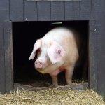 Pig at Tilgate Nature Centre.
