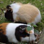 Guinea Pigs at Tilgate Nature Centre.