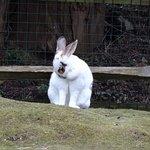 Rabbit at Tilgate Nature Centre.