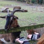 Goat at Tilgate Nature Centre.