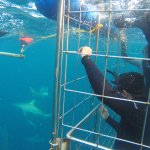 Shark cage divers enjoy the awesome sharks of Aliwal Shoal