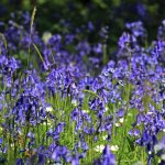 Bluebell Woods at Winkworth Arboretum