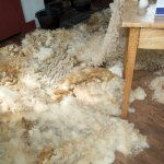 Wool from the recently sheared sheep.