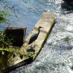 Heron on Fish Pass by blue bridge
