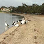 Pelicans outside your door.