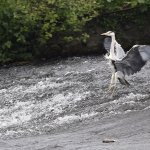 Heron alighting in the river just outside the pub.