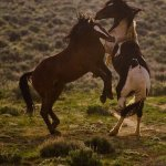 Red Canyon Wild Mustangs