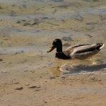 aves en las lagunas de Ruidera