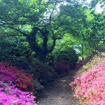 The pathway leading to many gems of beautiful flowers, trees, Rhododendrons and much more.