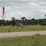 Shoo the giraffes from the airstrip.