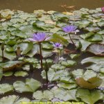 Water lilies in the garden pond