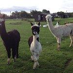 Our Friendly Alpacas - Colin, Jacob & Arnie