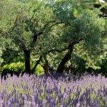Le champ de lavandes à l'entrée du Mas de l'Oulivié