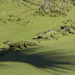 Baby Alligators St. Mark's Wildlife Refuge