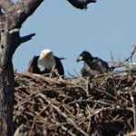 BAld Eagle and Young at St. Mark's Wildlife Refuge