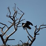 Bald Eagle- St. Mark's Wildlife Refuge