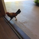 Had rooster and chickens everywhere. But that's everywhere in Kauai.