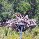 Osprey mom and chick