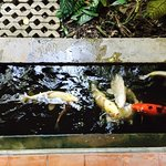 A koi moat surrounds the breakfast area